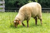 Sheep Grazing in Pasture - 165970970