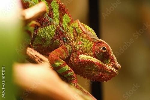 Beautiful red chameleon in an aquarium
