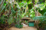 The Vallee De Mai palm forest ( May Valley), island of Praslin, Seychelles - 165983591