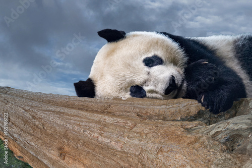 Fototapeta giant panda newborn baby portrait close up while sleeping