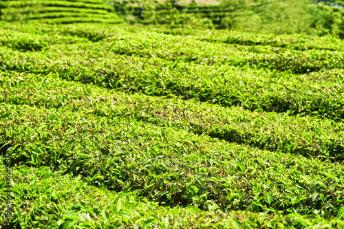 Rows of bushes on tea plantation. Bright green tea leaves