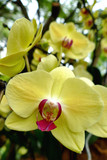Orchidée Phalaenopsis jaune