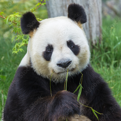 Plexiglas Panda Giant panda sitting on the grass eating bamboo