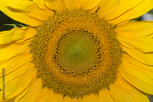 Staande foto Meloen Sunflower flower, oil improves skin health and promote cell regeneration
