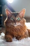 Somali cat ruddy color portrait