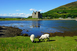 Traditional Scottish landscape with sheep grazing in front of the Lochranza Castle ruins and the water in Arran, Scotland - 166052571