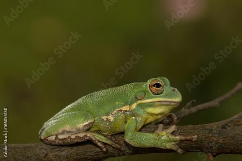 Barking tree frog holding onto a branch (Hyla gratiosa)