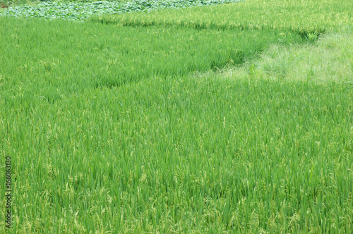 green rice field in farmland in Asia