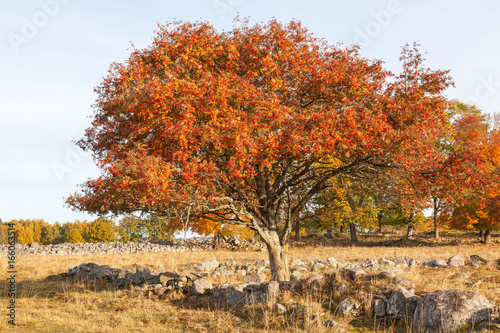 Rowan tree at autumn