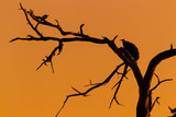 Silhouette of vulture on dead tree