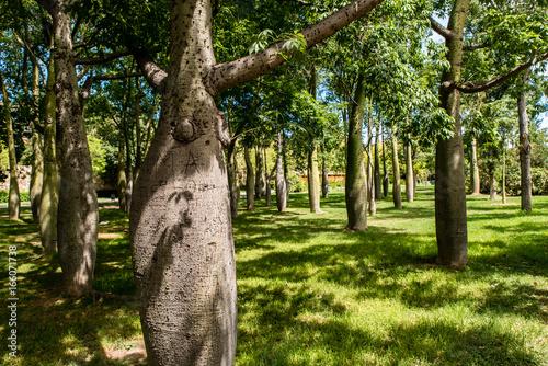 Fotobehang Baobab Baobab Bäume im Turia Park Valencia
