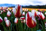 Canada 150 Special Tulips