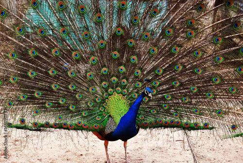 Foto op Aluminium Pauw peacock