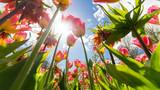 Tulpen mit Sonnenstrahlen