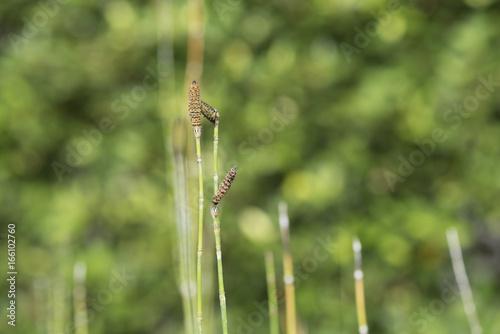 Stem of horsetail grass