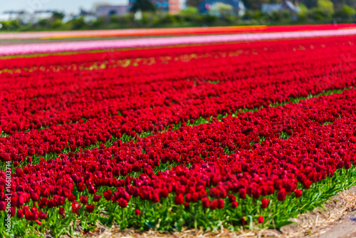 Poster Rood traf. Flowers fields