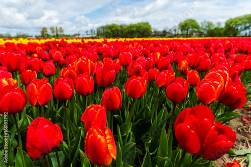 Foto op Canvas Rood Flowers fields