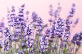 Lavender flowers. - 166113337