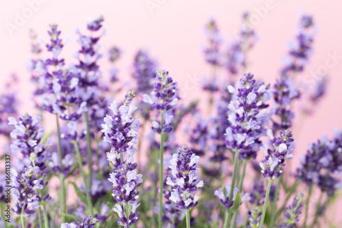 Fridge magnet Lavender flowers.