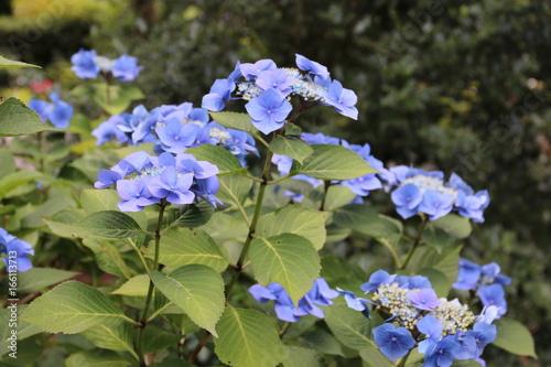 Fotobehang Hydrangea Hortensie blüht blau