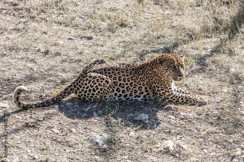 Fototapeta  Large  leopard resting after feeding