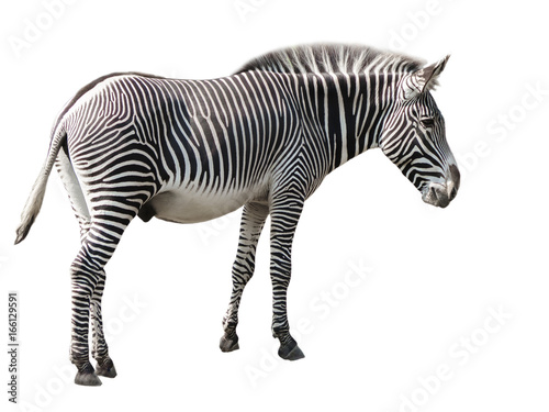 Fototapeta Zebra isolated