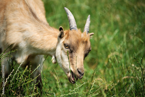 Goat on a background of green field