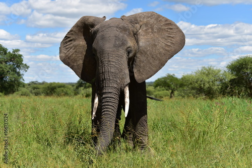 Elephant in the savanna.