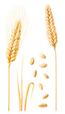 Isolated wheat collection. Two ripe wheat ears on stems, leaves and peeled grains isolated on white background with clipping path - 166131947