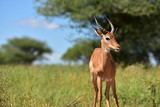 An impala in the savanna.
