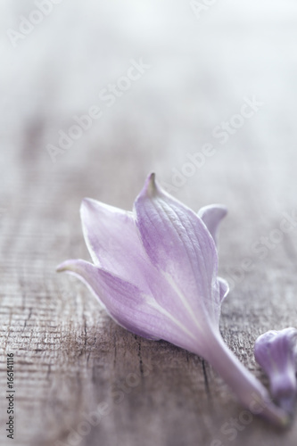 Delicate lilac flower on a gray board © Ekaterina Kolomeets