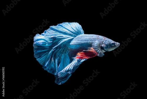 blue siamese fighting fish, betta splendens isolated Poster