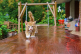 Yellow domestic Kitten walking on wood table
