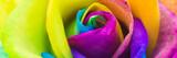Bunte Rose in Regenbogenfarben, Banner