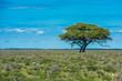 Quadro Tree in savannah, classic african landscape