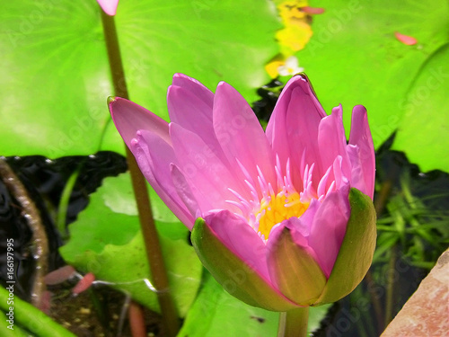 Naples, Italy - May 14, 2017: pink and yellow water lily between the green and great leaves. Photo taken at the Botanical Garden in the tropical greenhouse