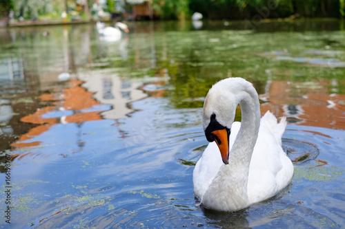 A swan sweaming in small lake