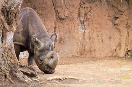 The black rhinoceros (Diceros bicornis) or hook-lipped rhinoceros is a species of rhinoceros, native to eastern and southern Africa