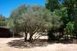 Quadro paesaggio di campagna con alberi di ulivo e eucalipto