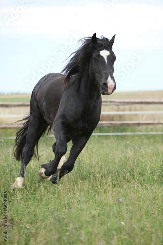 Amazing black stallion running on pasturage Poster