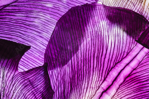 Plexiglas Iris iris petals closeup
