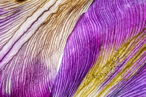 iris petals closeup - 166247320