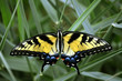 Yellow Swallowtail Butterfly resting in Guthrie Center, Iowa