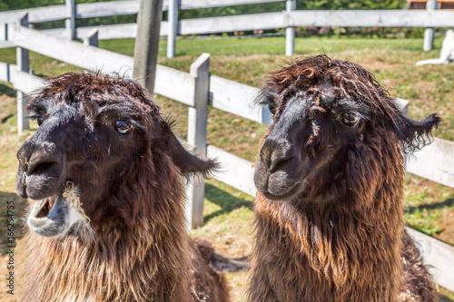 Lamas in Patagonia. Captured in a Lama Farm.