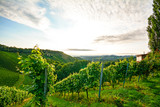 Steep vineyard with white wine grapes near a winery in the tuscany wine growing area, Italy Europe - 166256525