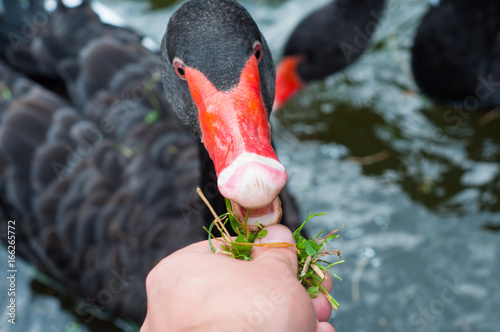 Black swan eats from hands