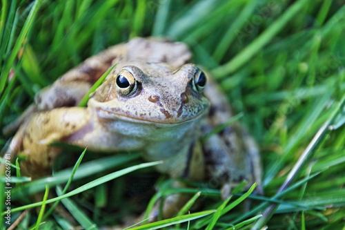 Erdkröte auf der Wiese Poster