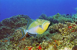 QueenTriggerfish