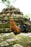 Temple Roosters