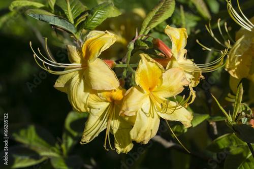 Azalea with yellow flowers.